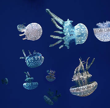 Reimar Gaertner - Swarm of Spotted Jellies against a blue background in a aquarium