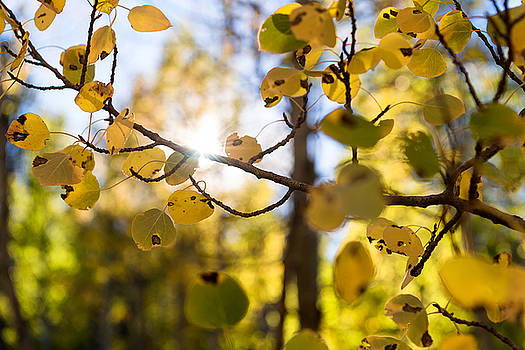 Sweatshirt Weather, Yellow and Green Leaves on Autumn Aspens with the Sun Shining in the Background by Brian Ball