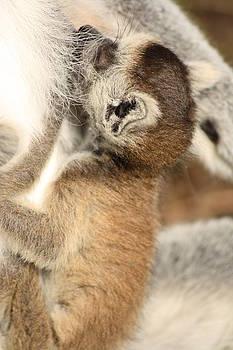 Sweet baby lemur by Fun Cards