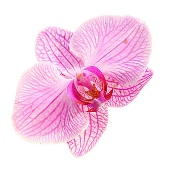 Sweet Color Pink Orchid Isolate by Keattikorn Samarnggoon