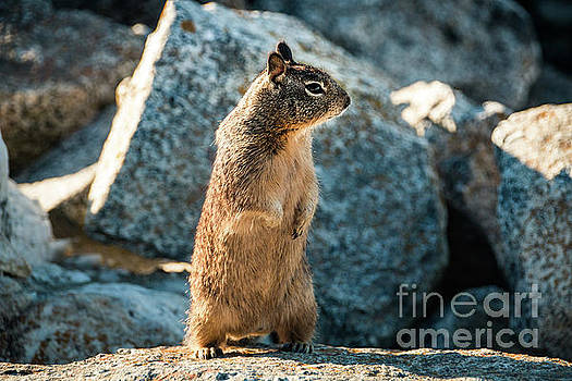 Sweet Curious California Ground Squirrel Standing Upright, Anima by Amanda Mohler