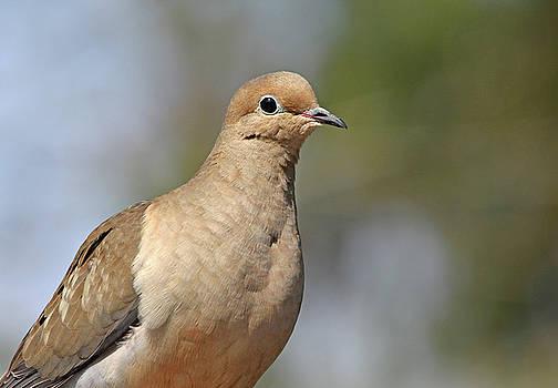Debbie Oppermann - Sweet Dove