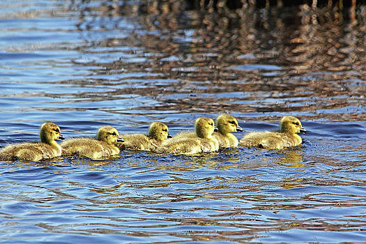 Debbie Oppermann - Sweet Goslings