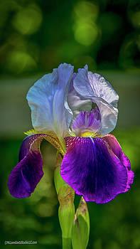Sweet Iris by LeeAnn McLaneGoetz McLaneGoetzStudioLLCcom