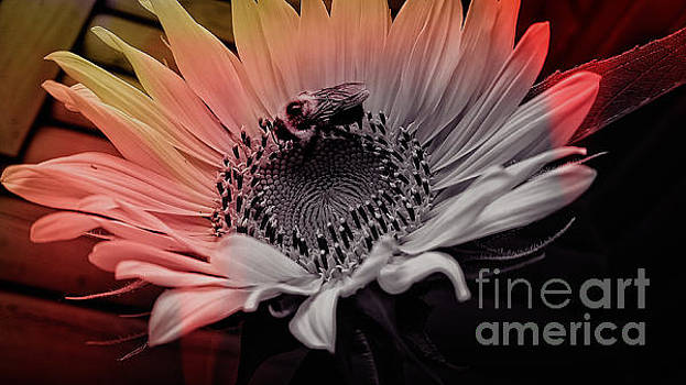Sweet Passion For Sunflowers by Crissy Anderson