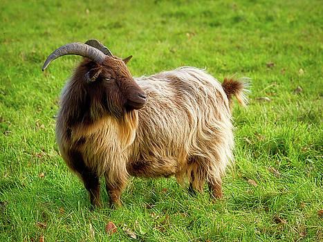 Sweet Pygmy Goat by Susie Peek