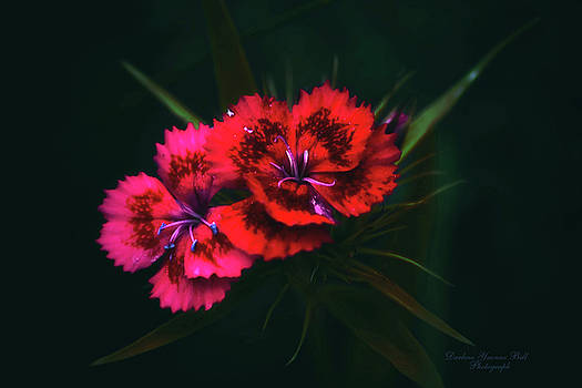 Darlene Bell - Sweet William Red