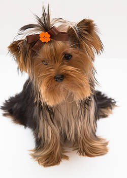 Sweet Yorkie Puppy by Yana Reint