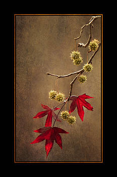 Autumn Sweetgum 2 by Lauren Brice