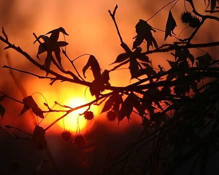 Sweetgum Sunrise by Carla Neufeld
