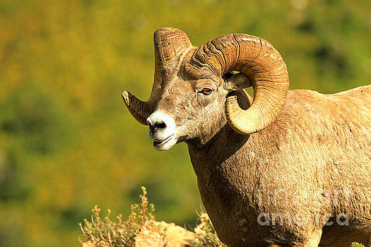 Adam Jewell - Swiftcurent Bighorn Ram Closeup