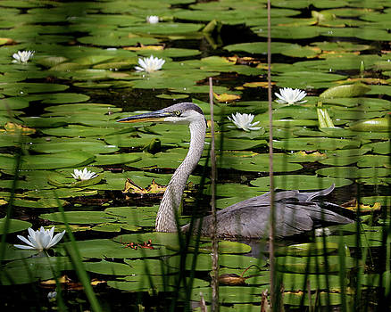 Swimming among the waterlilies by Doris Potter