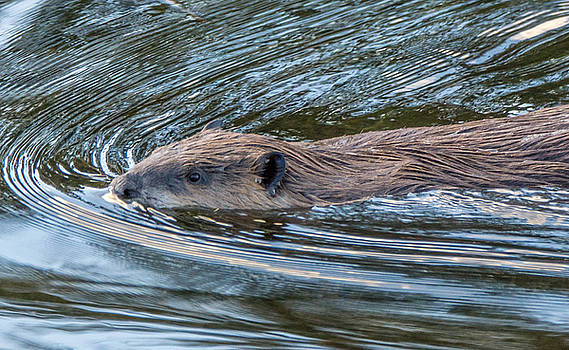 Randy Straka - Swimming Beaver 1