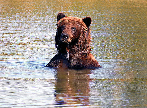 Swimming Brown Bear by Michelle Halsey
