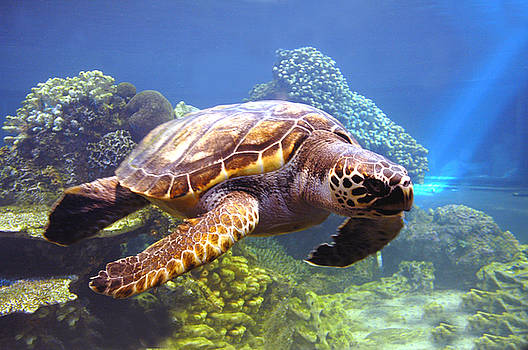 Swimming Sea Turtle by Michelle Halsey