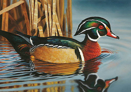 Swimming Wood Duck by Guy Crittenden