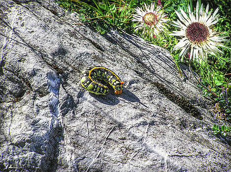 Swiss Catarpillar by Hanny Heim
