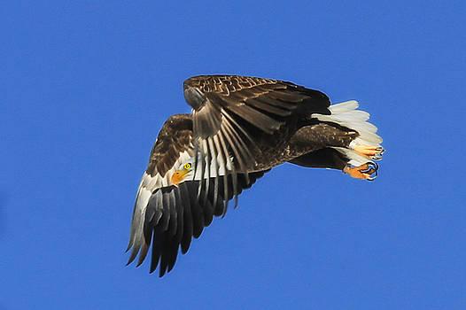 Swooping Bald Eagle by Juli Ellen