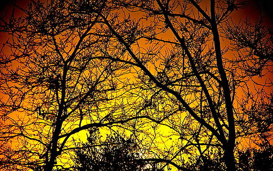 Sycamore Sunset by Liz Vernand