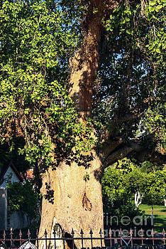 Sycamore Tree  by Mae Wertz