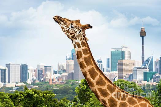 Sydney Giraffe by Andrew Michael