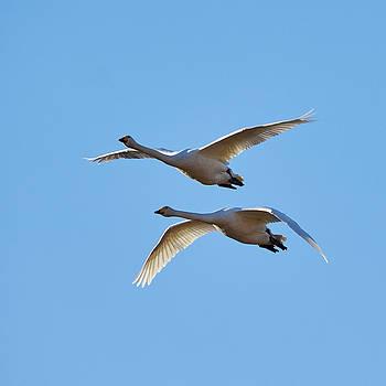 Syncronized. Whooper Swans by Jouko Lehto