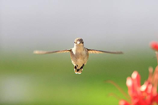 T Hummingbird by Shoal Hollingsworth