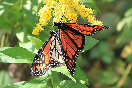 Cathy  Beharriell - Tag Team Monarchs