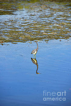 Bob Phillips - Tri-Colored Heron with Reflection