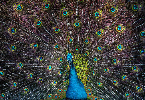 Tail Feathers by Cathie Crow