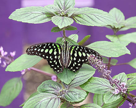 Tailed Jay butterfly in puple by Ronda Ryan