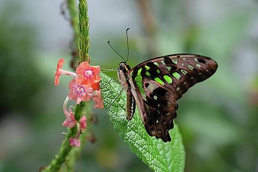 Tailed Jay butterfly4 by Ronda Ryan
