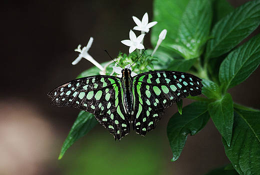 Tailed Jay wingspread  by Ruth Jolly