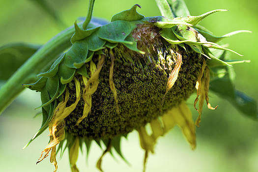 Take A Bow Sunflower by Kathy Clark