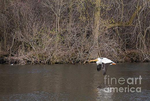 Took to Flight American White Pelican by Nikki Vig