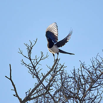 Takeoff. Eurasian magpie by Jouko Lehto