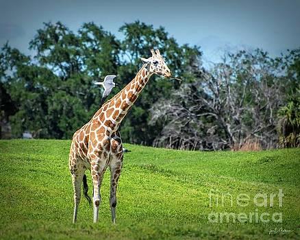 Taking it all in - Giraffe by Jan Mulherin
