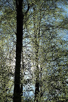 Martin Stankewitz - tall beech trees spring leaves