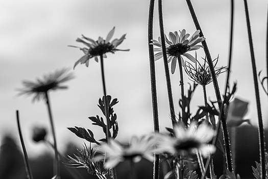 Tall Daisies by Nigel Spencer