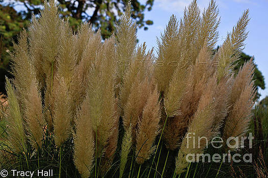 Tall Pampas Grasses by Tracy Hall