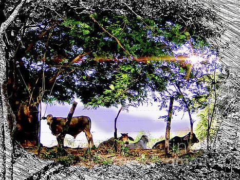 Tame Bulls Of The Pampas, Panama by Al Bourassa