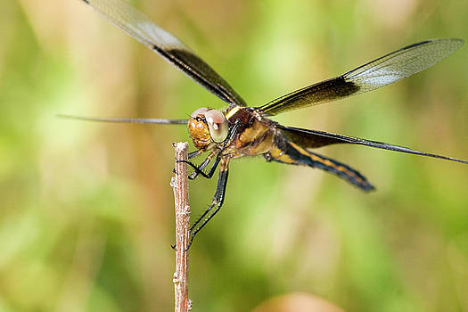 Tan Darter Dragonfly by Garnie McEwen