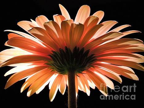 Tangerine Gerber Daisy by Chad and Stacey Hall