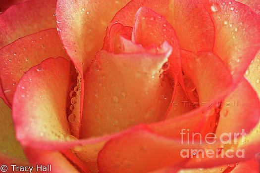Tangy Rose by Tracy Hall