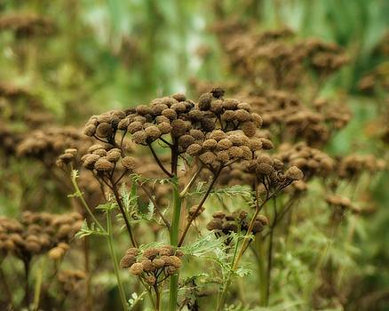 Gothicrow Images - Tansy In The Meadow