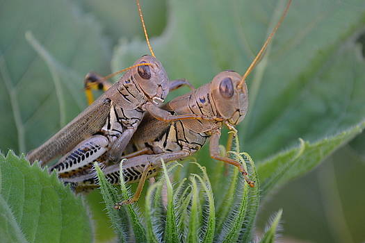 Tantric Grasshoppers by Jasmin's Treasures