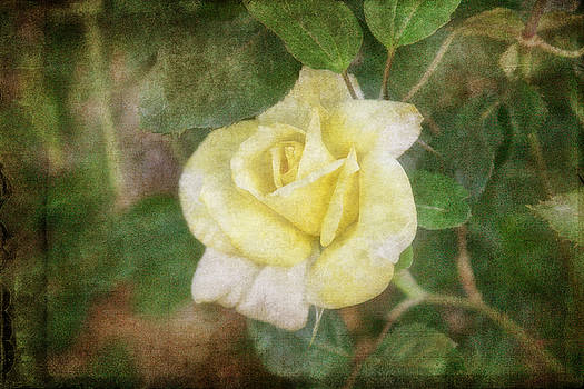 Tapestry Rose by Joan Bertucci