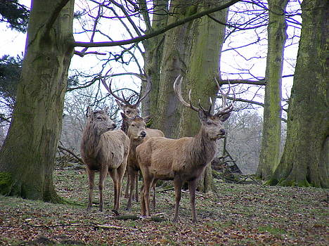 Tatton Park Deer by Lee Owen