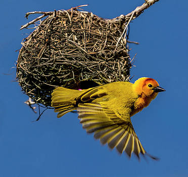 Tavera Golden Weaver searching for mate by Tito Santiago
