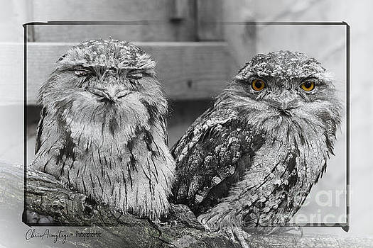 Tawney Frogmouths by Chris Armytage